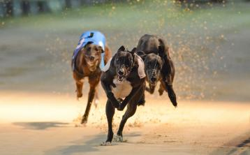 Cals had the talent to see off all challengers in Barber Kennels Bitch stake at Dundalk Stadium